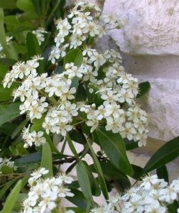 Pyracantha flowers which are produced in summer